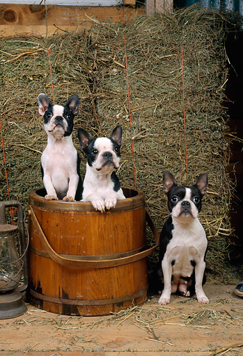 DOG 02 CE0099 01 © Kimball Stock Three Boston Terriers Standing In Wooden Bucket By Lantern And Hay In Barn
