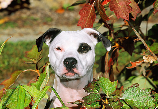DOG 02 CE0103 01 © Kimball Stock Head Shot Of American Pit Bull Terrier Sitting In Foliage