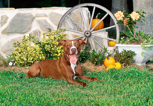 DOG 02 CE0107 01 © Kimball Stock American Pit Bull Terrier Laying On Grass By Stone Wall And Wagon Wheel