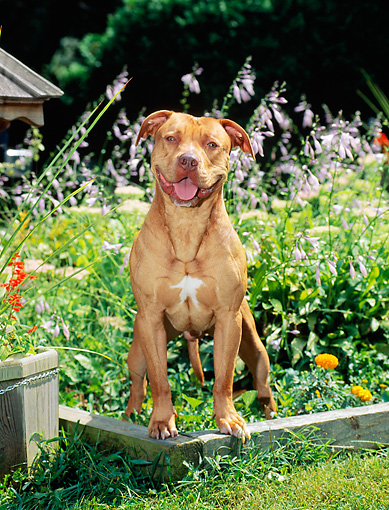 DOG 02 CE0111 01 © Kimball Stock American Pit Bull Terrier Standing In Garden By Flowers