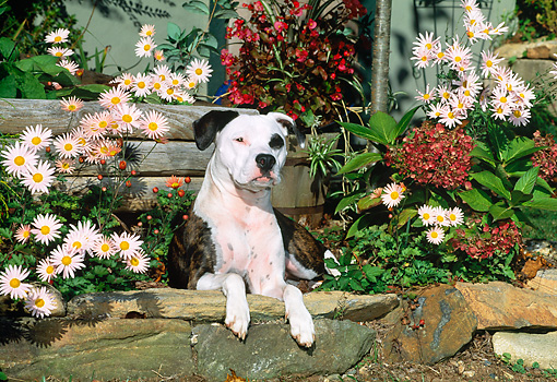 DOG 02 CE0113 01 © Kimball Stock American Pit Bull Terrier Laying In Planter By Pink Flowers