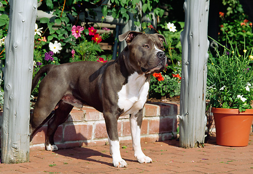 DOG 02 CE0114 01 © Kimball Stock American Pit Bull Terrier Standing On Brick Patio By Arbor And Planter