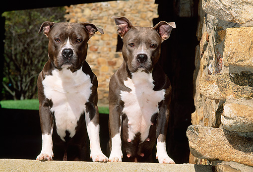 DOG 02 CE0123 01 © Kimball Stock Two American Pit Bull Terriers Stepping On Stone Wall