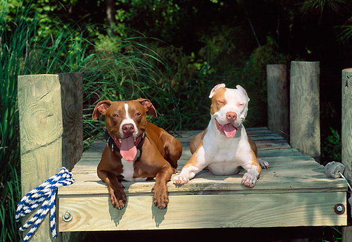DOG 02 CE0124 01 © Kimball Stock Two American Pit Bull Terriers Laying On Dock By Trees