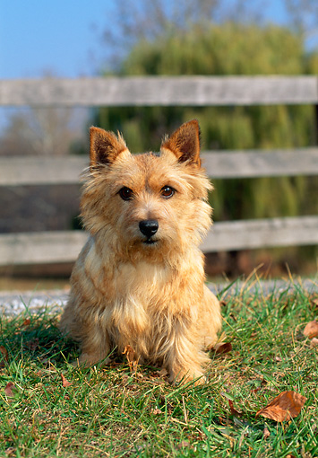 DOG 02 CE0127 01 © Kimball Stock Norwich Terrier Sitting On Grass By Fence