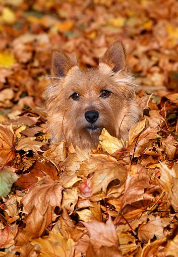 DOG 02 CE0128 01 © Kimball Stock Norwich Terrier Sitting In Pile Of Fallen Leaves