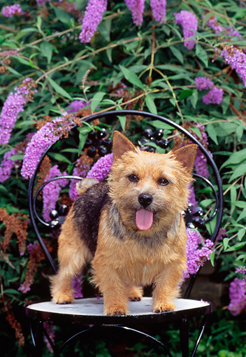 DOG 02 CE0129 01 © Kimball Stock Norwich Terrier Standing On Chair By Purple Flowers