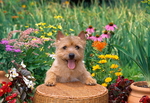 DOG 02 CE0130 01 © Kimball Stock Norwich Terrier Standing On Wicker Basket By Flowers