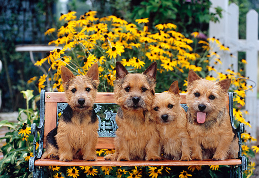 DOG 02 CE0131 01 © Kimball Stock Four Norwich Terriers Sitting On Bench By Yellow Flowers