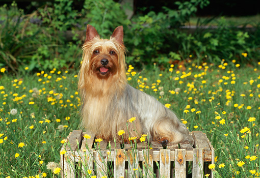DOG 02 CE0134 01 © Kimball Stock Silky Terrier Sitting On Crate In Field Of Yellow Flowers