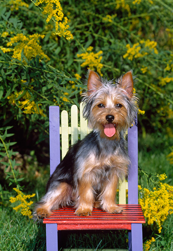 DOG 02 CE0135 01 © Kimball Stock Silky Terrier Sitting On Colorful Chair By Yellow Flowers In Garden