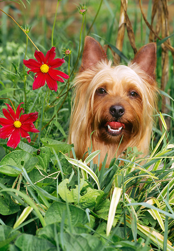 DOG 02 CE0136 01 © Kimball Stock Head Shot Of Silky Terrier Sitting In Plants With Red Flowers