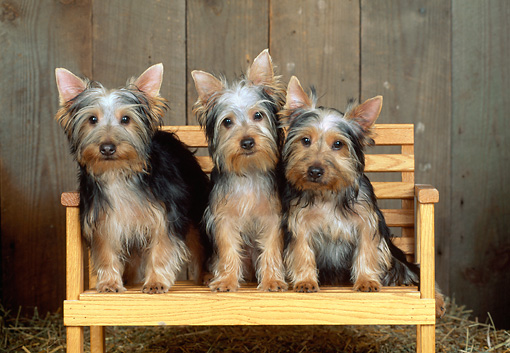 DOG 02 CE0138 01 © Kimball Stock Three Silky Terriers Sitting On Wooden Bench