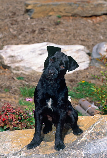 DOG 02 CE0140 01 © Kimball Stock Patterdale Terrier Sitting On Rock In Field