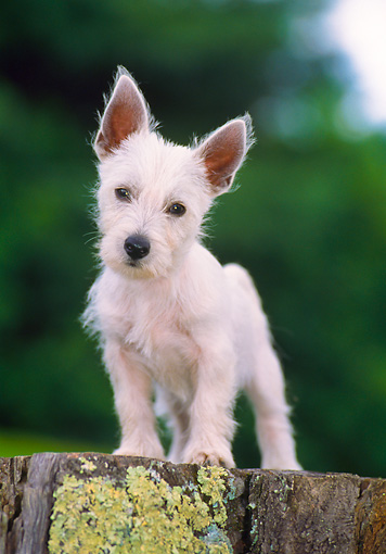 DOG 02 CE0146 01 © Kimball Stock West Highland Terrier Puppy Standing On Tree Stump