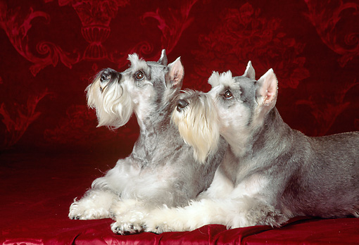 DOG 02 DC0001 04 © Kimball Stock Two Miniature Schnauzer Terrier Laying Together
