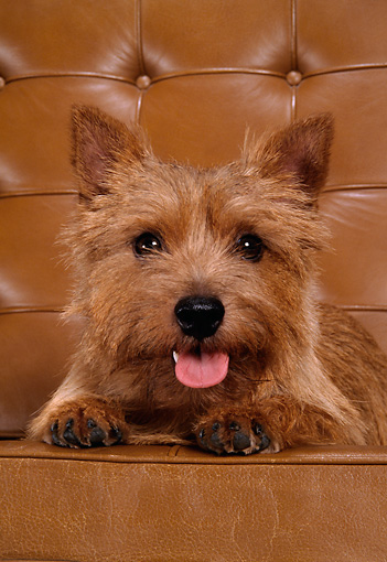 DOG 02 DC0023 02 © Kimball Stock Head Shot Of Norwich Terrier