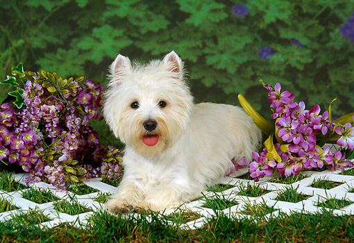 DOG 02 FA0003 01 © Kimball Stock West Highland White Terrier Laying On Lattice On Grass By Purple Flowers