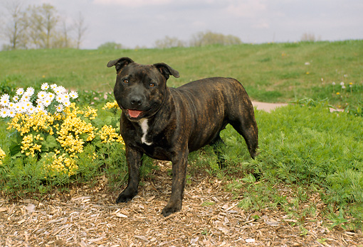 DOG 02 FA0005 01 © Kimball Stock Staffordshire Bull Terrier Standing By Flowers