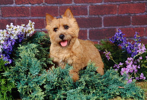 DOG 02 FA0013 01 © Kimball Stock Norwich Terrier Standing Shrub With Flowers By Brick Wall