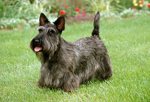 DOG 02 FA0014 01 © Kimball Stock Gray Scottish Terrier Standing On Grass In Garden