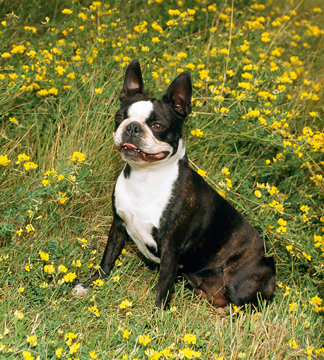 DOG 02 FA0019 01 © Kimball Stock Boston Terrier Sitting In Field Of Yellow Flowers
