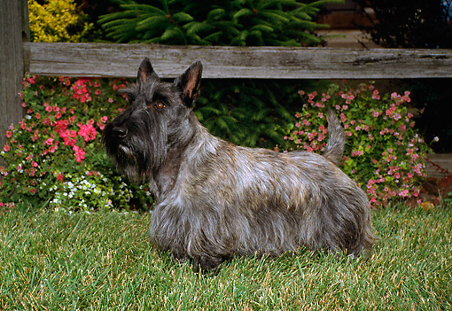 DOG 02 FA0020 01 © Kimball Stock Gray Scottish Terrier Standing On Grass By Flowers And Fence