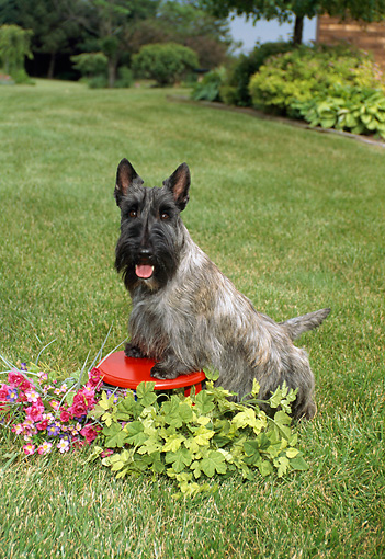 DOG 02 FA0021 01 © Kimball Stock Gray Scottish Terrier Standing On Grass By Flowers