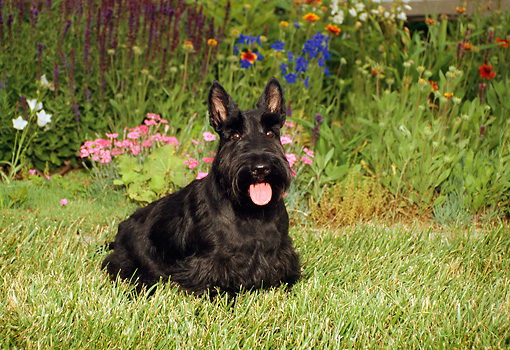 DOG 02 FA0022 01 © Kimball Stock Black Scottish Terrier Standing On Grass By Flowers