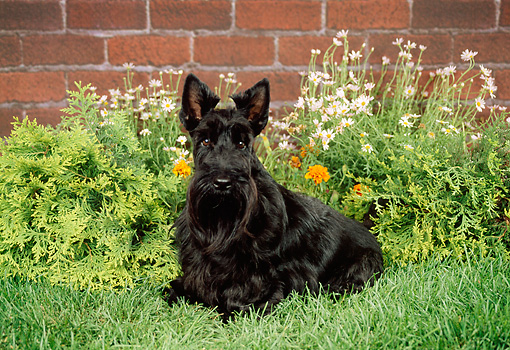 DOG 02 FA0023 01 © Kimball Stock Black Scottish Terrier Sitting On Grass By Flowers
