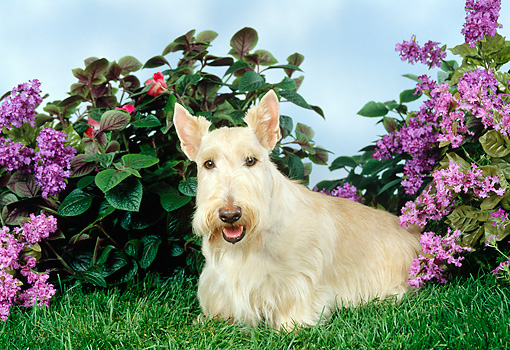 DOG 02 FA0025 01 © Kimball Stock Tan Scottish Terrier Sitting On Grass By Flowers