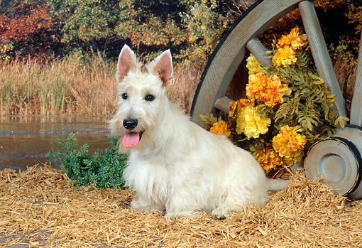 DOG 02 FA0026 01 © Kimball Stock Tan Scottish Terrier Sitting On Hay By Flowers And Wagon Wheel