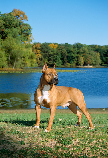 DOG 02 FA0027 01 © Kimball Stock American Staffordshire Terrier Standing On Grass By Lake