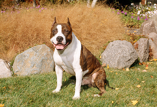 DOG 02 FA0029 01 © Kimball Stock American Staffordshire Terrier Sitting On Grass In Garden By Rocks