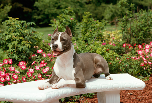 DOG 02 FA0030 01 © Kimball Stock American Staffordshire Terrier Laying On Bench In Garden By Flowers Shrubs