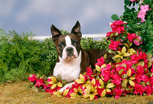 DOG 02 FA0033 01 © Kimball Stock Boston Terrier Laying On Grass By Flowers