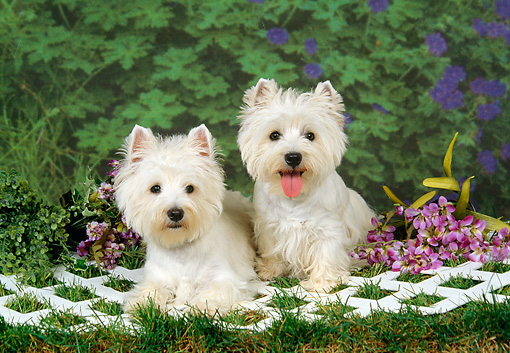 DOG 02 FA0037 01 © Kimball Stock Two West Highland White Terriers Laying On Lattice On Grass By Purple Flowers