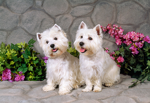 DOG 02 FA0039 01 © Kimball Stock Two West Highland White Terriers Sitting By Pink Flowers