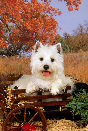 DOG 02 FA0044 01 © Kimball Stock West Highland White Terrier Laying On Hay In Wagon By Field Autumn Trees Blue Sky
