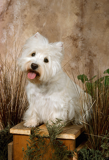 DOG 02 FA0048 01 © Kimball Stock West Highland White Terrier Sitting On Bench By Ornamental Grasses