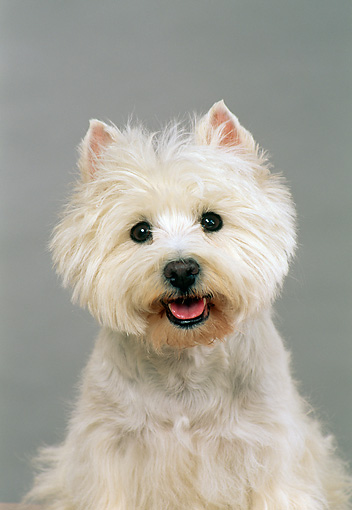DOG 02 FA0049 01 © Kimball Stock Head On Shoulder Shot Of West Highland White Terrier Sitting Studio