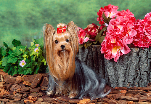 DOG 02 FA0051 01 © Kimball Stock Yorkshire Terrier Sitting By Pink Flowers And Log