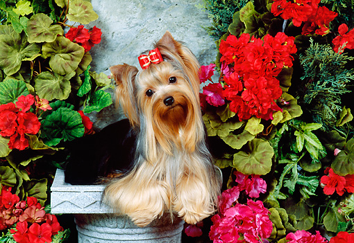 DOG 02 FA0052 01 © Kimball Stock Yorkshire Terrier Sitting On Stone Pedestal By Red Flowers