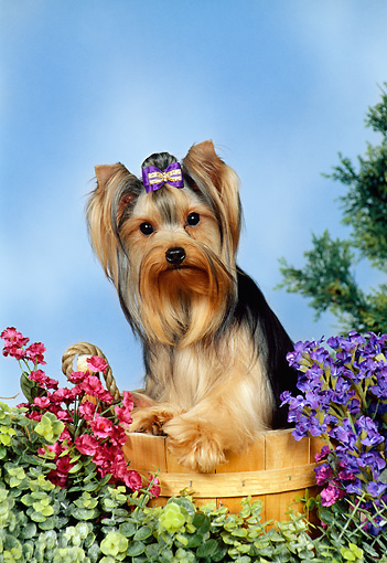 DOG 02 FA0053 01 © Kimball Stock Yorkshire Terrier Standing In Bucket By Flowers