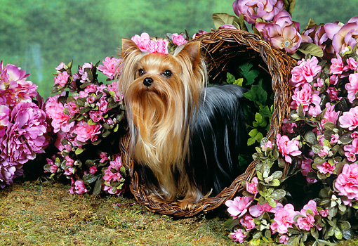 DOG 02 FA0054 01 © Kimball Stock Yorkshire Terrier Standing In Basket By Pink Flowers
