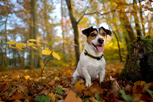 DOG 02 KH0001 01 © Kimball Stock Jack Russell Terrier Sitting In Woods