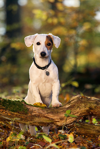 DOG 02 KH0003 01 © Kimball Stock Jack Russell Terrier Sitting On Log In Woods