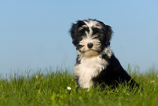 DOG 02 KH0004 01 © Kimball Stock Tibetan Terrier Sitting In Grass