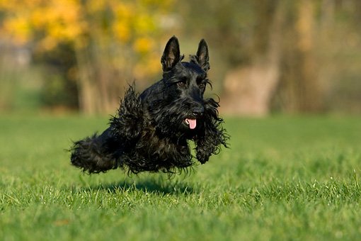 DOG 02 KH0005 01 © Kimball Stock Black Scottish Terrier Running In Field