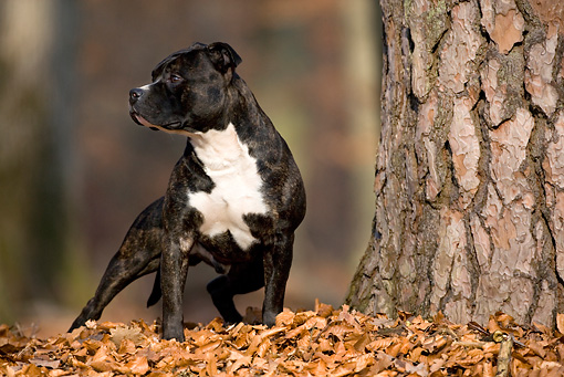 DOG 02 KH0012 01 © Kimball Stock American Staffordshire Terrier Standing By Tree In Leaves Looking Away